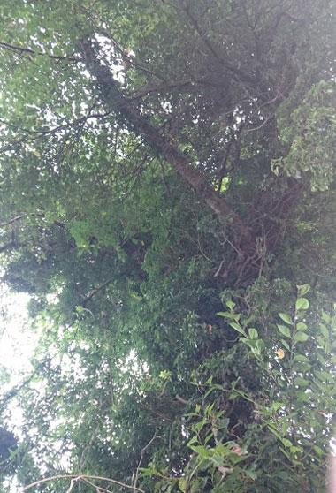 近所の神社の古木